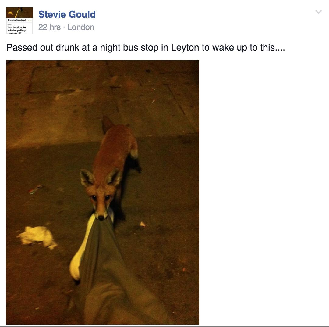 Facebook image Fox Chewing Trousers Steve Gould